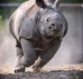 """<p style=""""text-align: center;"""">Young Rhino</p> <p style=""""text-align: center;"""">© 2005-2016 Maciej Szamałek</p>"""